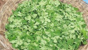 Fresh Organic Moringa Leaves