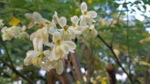 Organic-Moringa-Flower